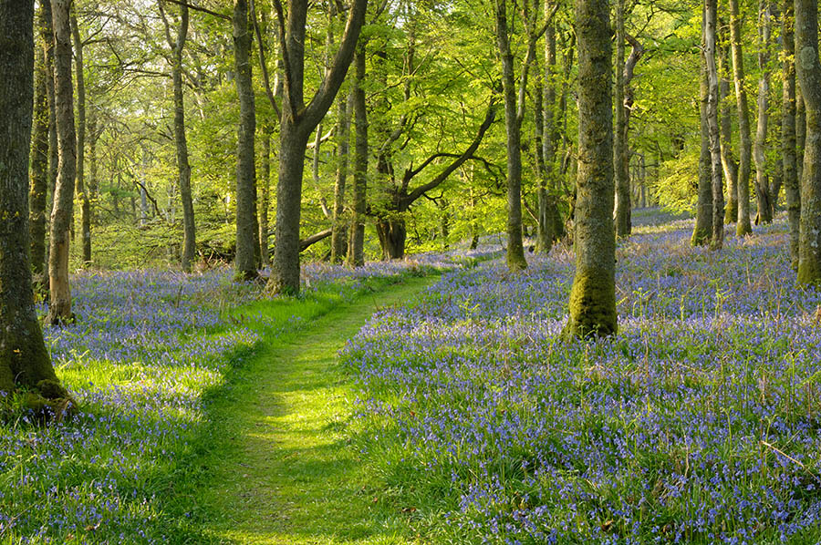 Bluebells In The Wood Backgrounds